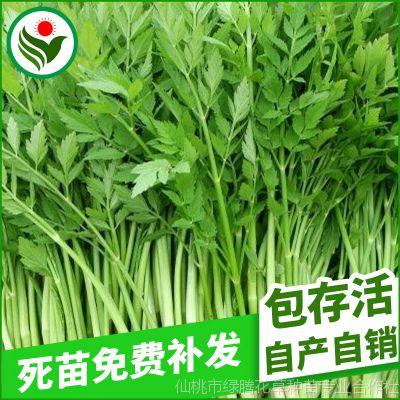基地种植 优质鄂水芹种子 湖北蔬菜种子 抗病蔬菜种子