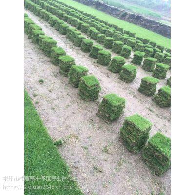 马尼拉草坪 暖季型 规格22*22*10