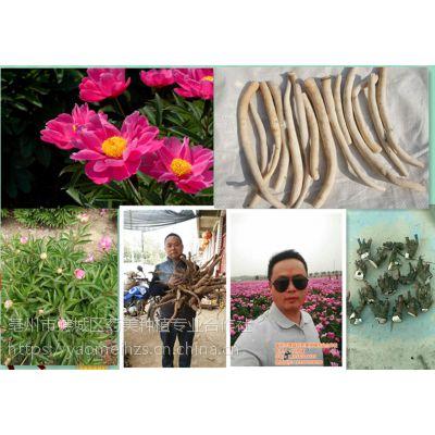 白芍芽子东北地区和南方白芍种苗种植