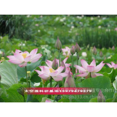 莲花和荷花是什么关系太空莲高产品种苗批发