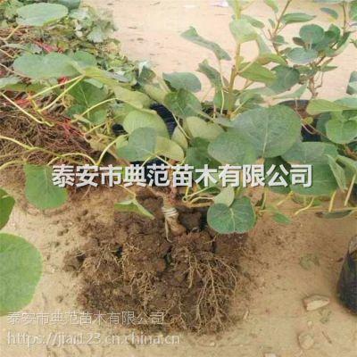 软枣猕猴桃苗价格 山东软枣猕猴桃苗基地
