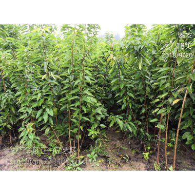 正一园艺场报价:樱桃种苗|樱桃苗怎么培育