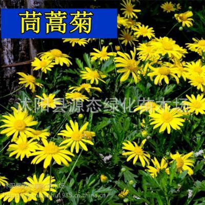 批发景观花卉种子 花环菊种子 别名三色菊 茼蒿菊 包发芽 到付