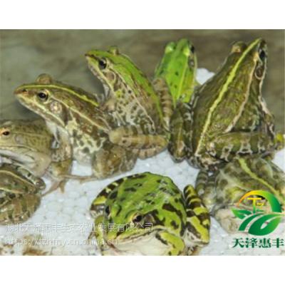 人工养殖青蛙这很重要的,看过绝不后悔