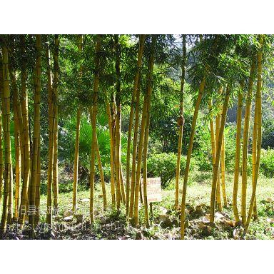 哪里卖绿化竹子啊,江苏绿化竹子基地大量批发,而且价格便宜