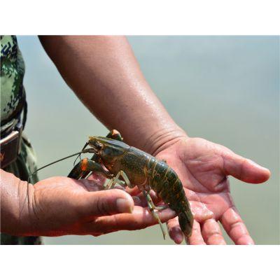澳洲淡水龙虾养殖怎么养殖澳洲淡水龙虾无锡龙澳生态农业发展有限公司