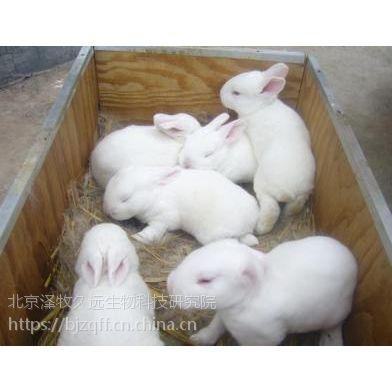 家兔受孕率低的原因