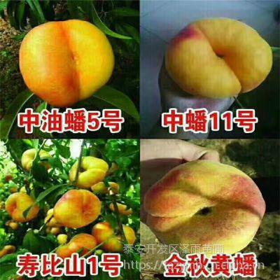 36-5油蟠桃树苗批发 新疆可以种植36-5油蟠桃树苗吗