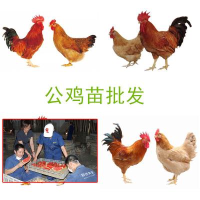 鸡苗今天什么价格 土鸡苗批发市场 鸡苗批发行情 土鸡苗价格走势
