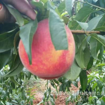 新品桃苗:桃树苗、桃树苗量大从优