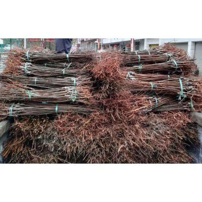 李子树苗出售、早熟李子苗批发价格、李子果树苗基地