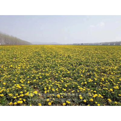 蒲公英种子批发基地 蒲公英种子批发零售 中国药材种子批发网