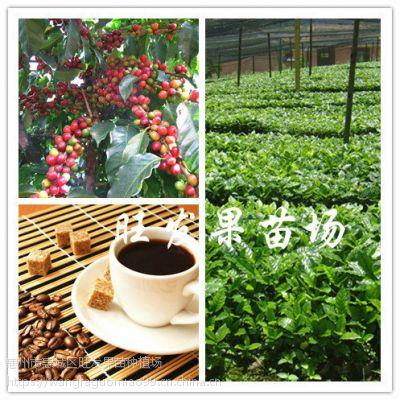供应咖啡苗 进口咖啡树苗当年种当年结果 品种正宗优质