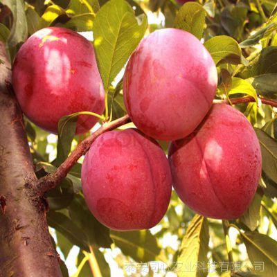 优质李子苗种植基地 批发高产李子苗价格