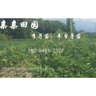2018蜂糖李树苗哪里有卖,李子苗批发价格是多少