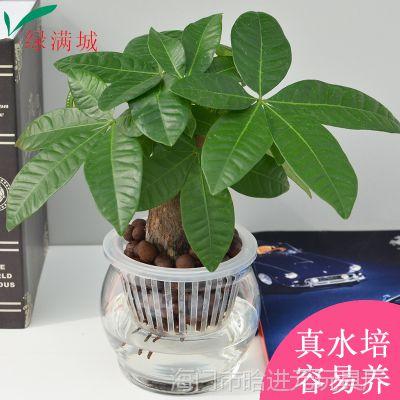 室内办公盆栽喜阴发财树净化空气水生花卉水养绿植水培植物办公花