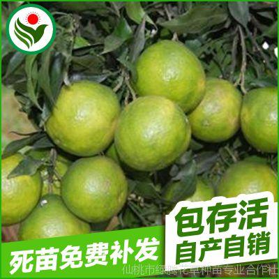 柑桔新品种春蜜露柑桔果树苗 高产量柑桔新品种嫁接柑橘树苗