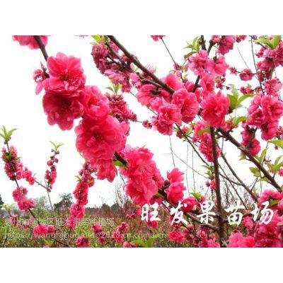 大量供应观赏桃花苗嫁接树苗 大红桃花苗 桃树抗寒品种可盆栽地栽庭院种植 品种正宗量大价优