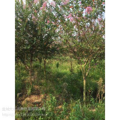 【最新紫薇树小苗批发价格】 优质紫薇树小苗多少钱一棵?