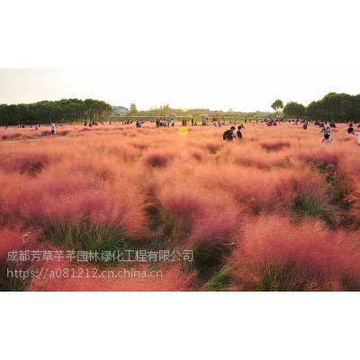全国大量批发粉黛乱子草及各类苗木草坪