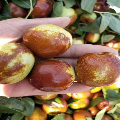 枣树苗种植基地 哪里有卖枣树苗 沾化冬枣枣树苗批发价格