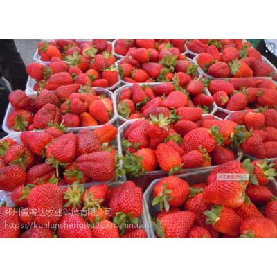草莓膨果增甜昆仑钾宝 个头大甜度高颜色鲜艳