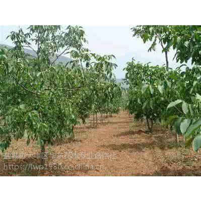 湖北核桃树基地 5公分 核桃树采购价格是多少?