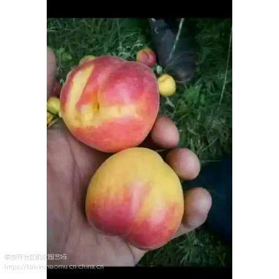 早红蜜杏苗1年价格 早红蜜杏苗一株多少钱