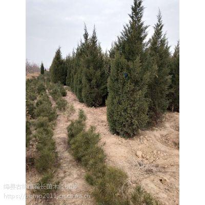 3米蜀侩冠幅70公分树形好待嫁 3米蜀侩一车能装多少棵?