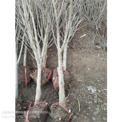 现货销售1.2米1.5米1.8米冠幅丛生木槿价格