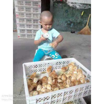 孵化场批发昆明九斤红公鸡苗|成品红玉鸡多少钱|成活率高