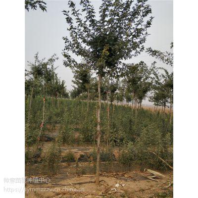 山东皂角树基地 山东皂角树价格