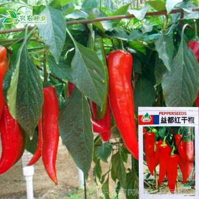 蔬菜种子公司 红干椒红辣椒种子益都红辣椒 高产抗病早熟辣椒种子