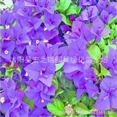 晴空三角梅苗  三角梅盆栽 三角梅重瓣花苗 三角梅盆景花卉