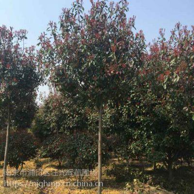 江苏南京12公分高杆红叶石楠树多少钱一棵?