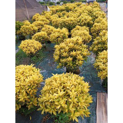 福建丛生洒金珊瑚球园林景观,三明洒金珊瑚球产地