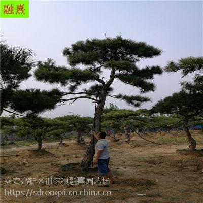 景松盆景 2米以上高度 天然造景 山东松树价格 造型景松