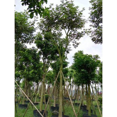 湖北黄花风铃木产地,黄花风铃木带帽多杆