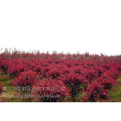 青州丽都花卉 红叶小檗种植 红叶小檗球基地 价格