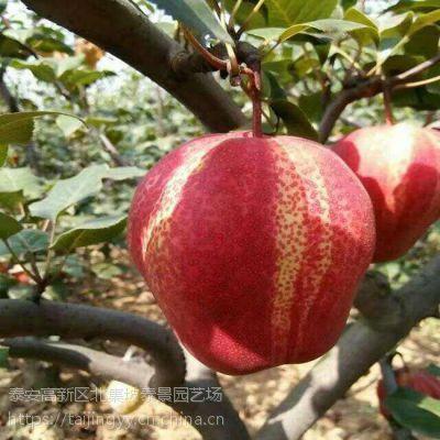 早酥红梨,早红考密斯,黄金梨,秋月梨,晚秋黄梨树苗批发2年苗种苗