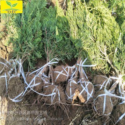 出售40公分-60公分龙柏苗 绿化工程苗 常绿灌木 龙柏苗价格