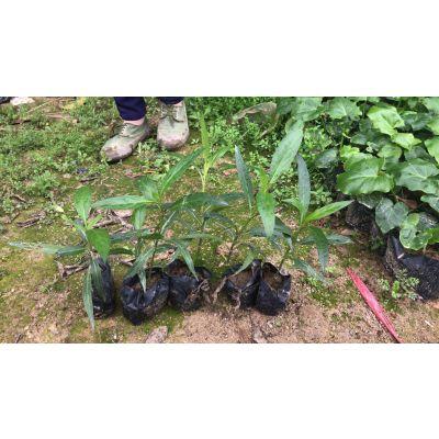 安徽哪里有卖紫花翠芦莉,多杆实生苗6斤土球
