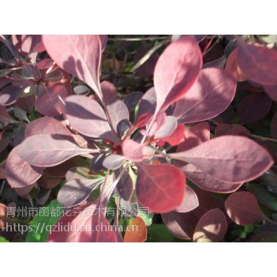 山东青州丽都 红叶小檗种植基地 红叶小檗基地 直销