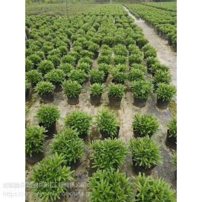 我们专业种植木春菊批发基地,出售高度20公分的木春菊价格哦