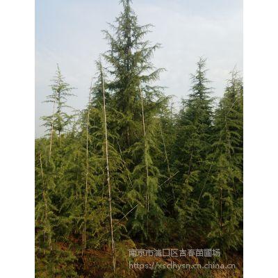 南京雪松树苗价格多少钱一棵高度8米7米6米5米雪松价格