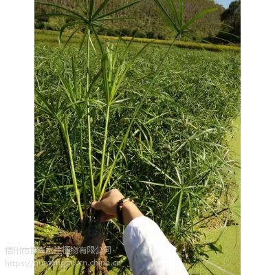 江西水生植物批发|江西水生花卉