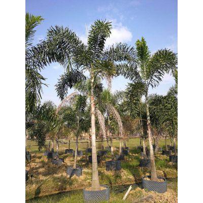 河南狐尾椰子价格,3年生狐尾椰子树冠好