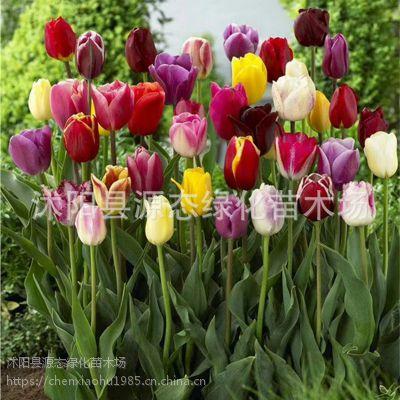 批发盆栽郁金香种球 荷兰优质郁金香种球可水培球根盆栽观花植物