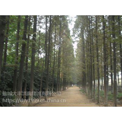 北美红杉哪里有 70公分高北美红杉小苗价格