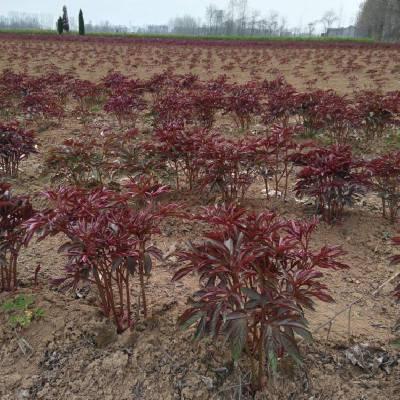 改良芍药种子一亩地产量多少